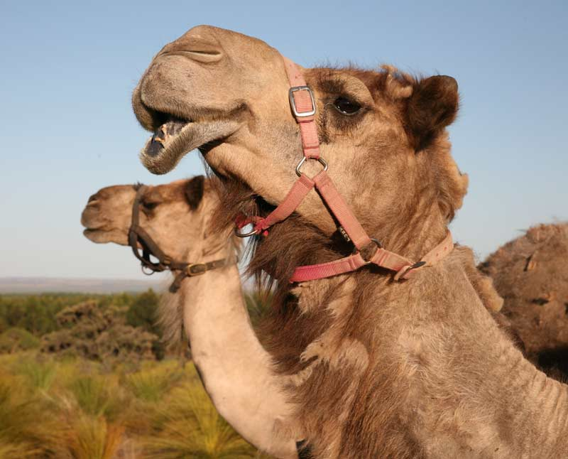 Good Earth Dairy Camel Milk: The super food from the outback